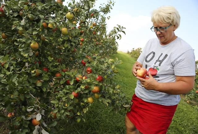 In this Tuesday, Sept. 4, 2018 photo, Debbie Lynd Patton looks over some honeycrisp apples at Lynd Fruit Farm in Pataskala, Ohio. The excessive heat and rain have led to the apples getting bitter rot which has forced the farm to cancel this weekend's pick-your-own event for the popular honeycrisp apples. (Jonathan Quilter/The Columbus Dispatch via AP)