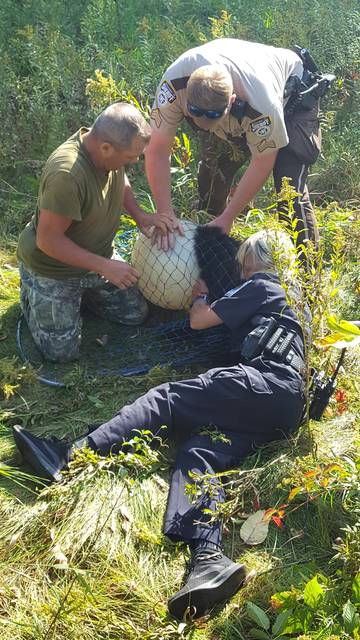 This photo taken Sept. 16, 2018, shows rescuers working to remove a hard plastic globe stuck on the head of a bear cub near Balsam Lake, Wis. (Deputy Jeff Hahn/Polk County Wis. Sheriff's Office via AP)