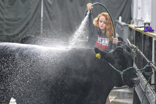 Shelby Crider, 17, of Elida, washes her angus steer named Duck before showing it at the Allen County Fair.