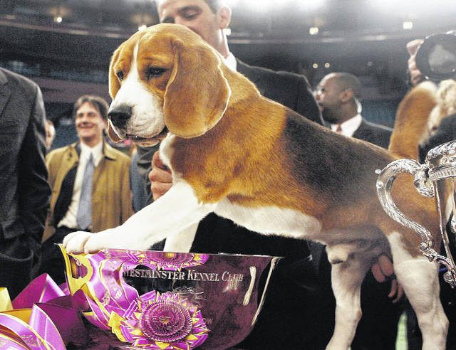 In this Feb. 12, 2008, file photo, Uno, a 15-inch beagle, poses with his trophy after winning Best in Show at the 132nd Westminster Kennel Club Dog Show at Madison Square Garden in New York. Uno, the beagle who became perhaps the most popular show dog ever, died Thursday at the 200-acre ranch where he lived in Austin, Texas. He was 13. (AP Photo/Jason DeCrow, File)