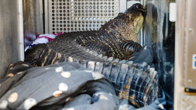 "A 6-foot-long, 150-pound alligator is seen Wednesday, Nov. 7, 2018. The alligator, named Catfish, was found in a hot tub by a landlord evicting a tenant in Kansas City, Mo. The tenant, Sean Casey, described the alligator, named Catfish, as ""gentle as a puppy."" The alligator was removed by animal control workers, and will be temporarily housed at the Monkey Island Rescue and Sanctuary in nearby Greenwood. (Tammy Ljungblad/The Kansas City Star via AP)"