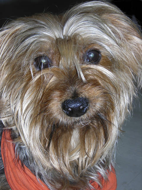 """This undated photo provided by Festival Ballet Providence shows Archie, a Yorkshire Terrier who has performed in more than 125 performances of """"The Nutcracker."""" Festival Ballet Providence has announced that its beloved 19-year-old Nutcracker dog is retiring from the stage. The company plans auditions for the next Nutcracker dog on Dec. 2, 2018, at their studios on Hope Street, in Providence, R.I. (Festival Ballet Providence via AP)"""