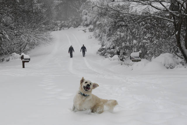 Josie an English Retriever plays in the snow as her owners Dawn and Mark Lundblad walk a snow-covered Sandy Cove Drive Sunday