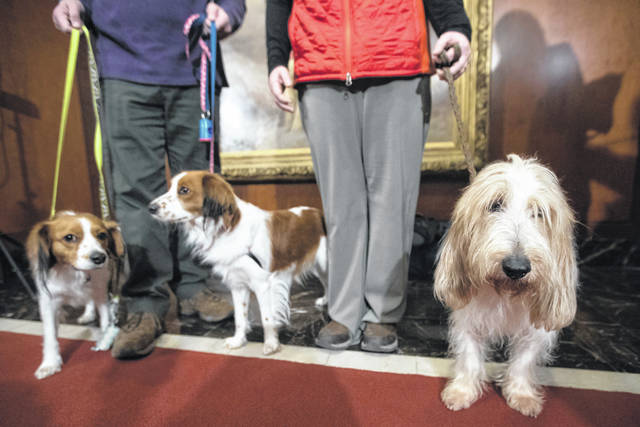 Escher, left, and Rhett, center, Nederlandse kooikerhondje, and Juno, right, a grand basset griffon Vendeen, are shown by their handlers during a news conference at the American Kennel Club headquarters in New York. The two breeds are eligible to compete in the Westminster Kennel Club dog show for the first time in 2019.