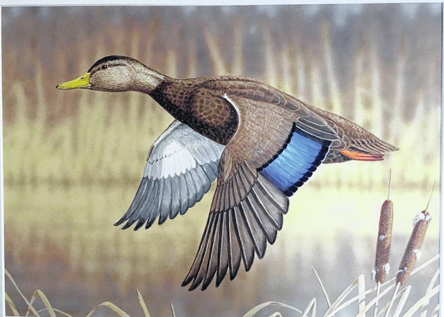 A painting of an American Black Duck by Jeffrey Klinefelter of Etna Green, Indiana, won first place in the 2019 Ohio Wetlands Habitat Stamp Design Competition last Saturday at the Ohio Ducks Unlimited annual banquet in Columbus.