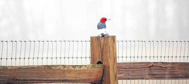 For some birders, stalking a red-headed woodpecker with their camera — such as this one seen recently at Hermon Woodlands Metro Park — is all part of the allure of the hobby.
