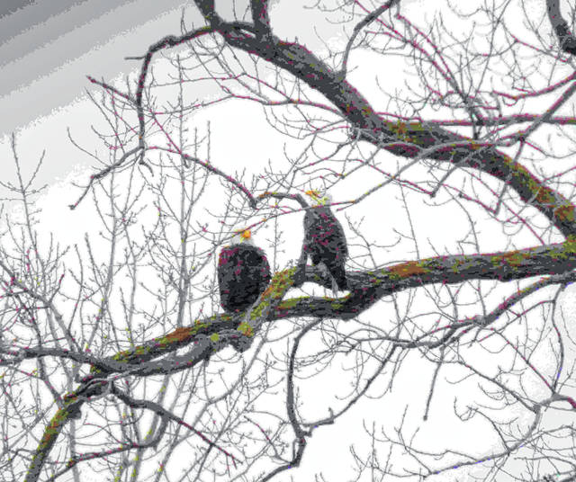 A pair of bald eagles sit close to each other in a tree only yards from the Lake Erie shore in the Magee Marsh Wildlife area in early January. Winter is a good time to see eagles since they are active and trees are bare.