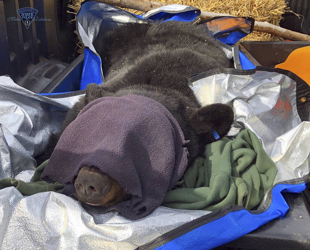 This photo released Thursday, March 14, 2019, by the Massachusetts State Police and Massachusetts Environmental Police shows a mother bear that was tranquilized so she and her cubs could be relocated to a nearby forest from a den they had set up in the median of Route 2 in Templeton, Mass. (Massachusetts State Police and Massachusetts Environmental Police via AP)