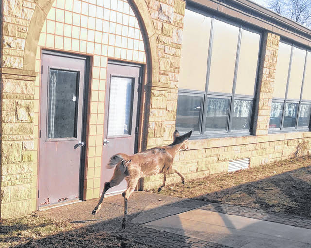 A deer got trapped near a U in the property of St. Charles School on Friday morning.