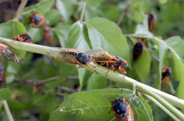 With their bulging red eyes and deafening mating song, the 17-year cicadas are about to emerge in western Pennsylvania and parts of eastern Ohio. This file photo was taken near Trenton, Ohio.