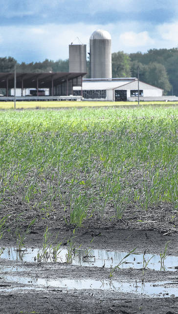 Winter wheat struggles to grow in a flooded farm field in American Township.