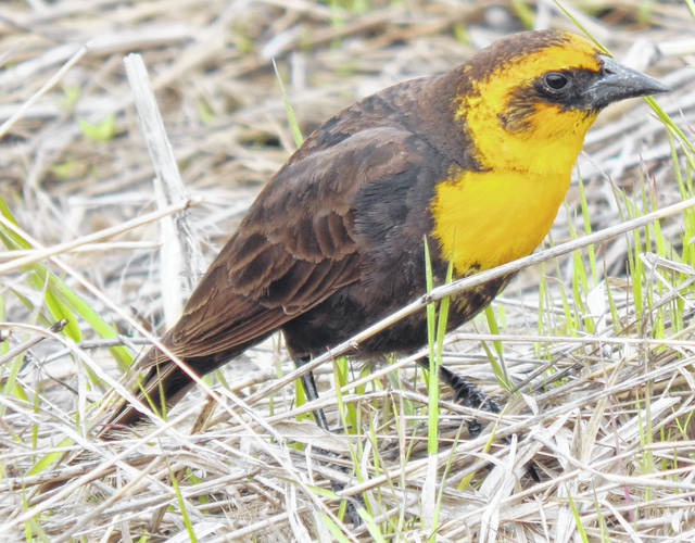 This Yellow-headed blackbird was sighted at Howard Marsh, a Toledo Metropark near Oregon. The bird is found in the Western part of the U.S. and was slightly off its flight path.
