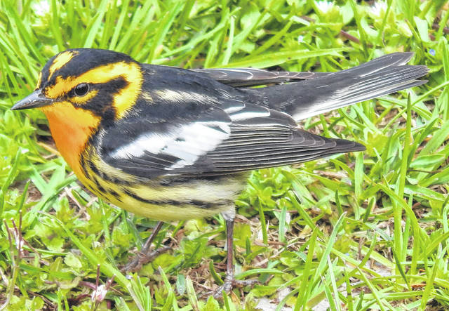 A Blackburnian Warbler is found in the grass by a picnic table in Pelee National Park in Leamington, Ontario, Canada.