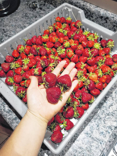 Fresh strawberries are available at JK Orchard and Farm in Lima. The orchard will be open for pick-your-own hours now through mid-June, weather permitting.