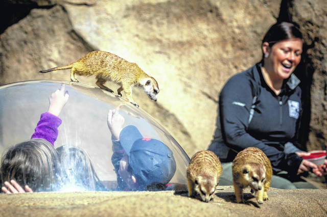In this April 16, 2019 photo, senior Africa keeper Jenna Wingate sits in the meerkat exhibit at the Cincinnati Zoo and Botanical Garden in Cincinnati. Wingate has worked for years to build a relationship with the meerkats and earn their trust.