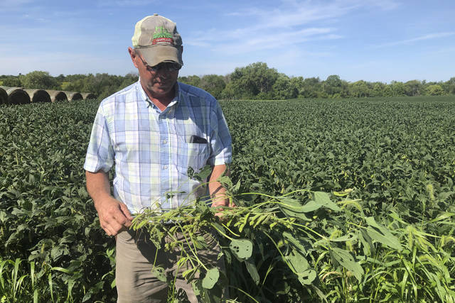 "Farmer Randy Miller is shown with his soybeans Aug. 22 at his farm in Lacona, Iowa. Miller, who also farms corn, is among farmers unhappy with President Donald Trump over waivers granted to oil refineries that have sharply reduced demand for corn-based ethanol. Miller called it ""our own country stabbing us in the back."""