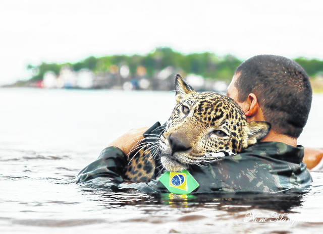 In this May 2016 photo provided by None Mangueira, a Brazilian army soldier swims in the Negro River holding Jiquitaia, a 2-year-old jaguar that was adopted by the military command of the Amazon, in Manaos, Brazil, where the Negro converges with the Solimoes, forming the Amazon river. On Friday, Aug. 30, 2019, The Associated Press reported on stories circulating online incorrectly asserting that the feline was rescued after throwing itself in the water during recent fires in the Amazon. Mangueira, the photographer, said that Jiquitaia was rescued as a cub and adopted by the army after hunters killed his mother.