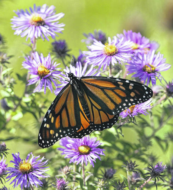 A Monarch butterfly enjoys the nectar of some blooming asters on a roadside in Streetsboro, Ohio.  (AP Photo/Amy Sancetta)
