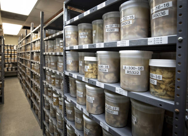 This Aug. 14, 2019 photo provided by the University of Kentucky shows brain samples in storage at the Sanders-Brown Center on Aging in Lexington, Ky. Once a month, researchers at the University of Kentucky gather to compare donated brains from people who died with dementia. Very rarely do they find one that bears only Alzheimer's trademark plaques and tangles, no other damage. (Mark Cornelison/University of Kentucky via AP)