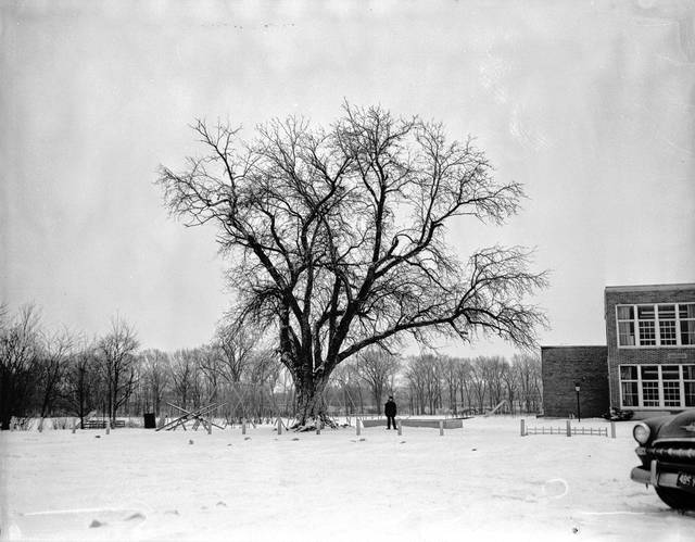 The tree at Shawnee schools believed planted by Johnny Appleseed Chapman was photographed in 1957, before time and wear took its toll.