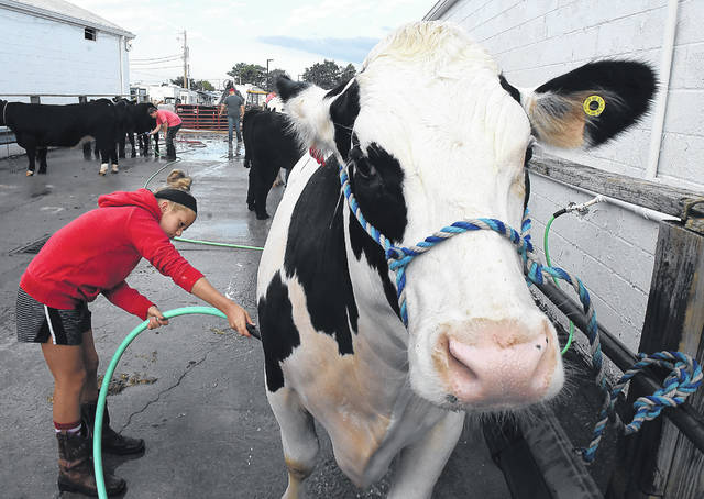 Grace Fledderjohann, 10, of Spencerville washes her steer named Gary before the Junior Fair Livestock Auction at the Allen County Fairgrounds on Friday.