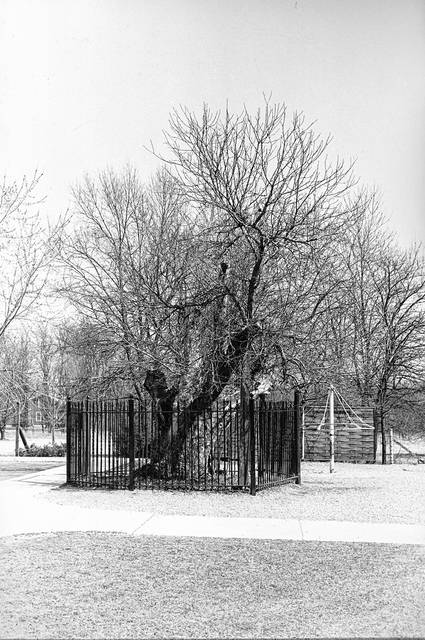The Appleseed tree, photographed in 1972. By this era, a protective fence had been built around it.