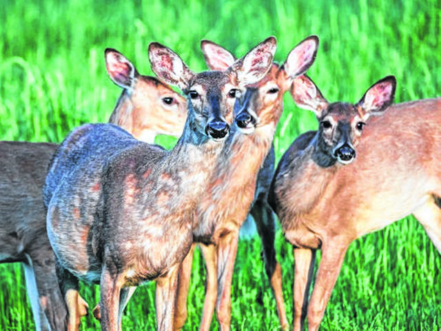 Around 35 percent of the state's annual deer take will occur this week during gun season. Forty years ago, before the popularity of bow hunting, the gun season accounted for 90 percent of the deer take. File Photo