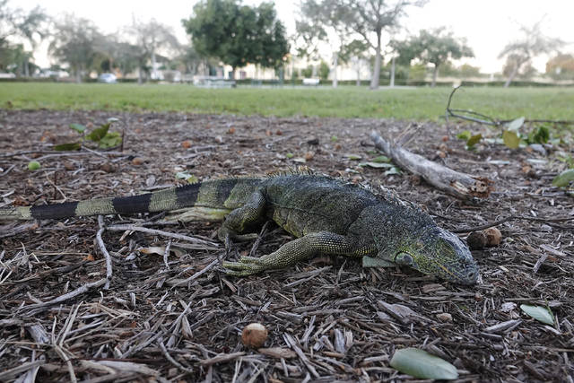 A stunned iguana lies in the grass at Cherry Creek Park in Oakland Park, Fla., Wednesday, Jan 22, 2020. The National Weather Service Miami posted Tuesday on its official Twitter that residents shouldn't be surprised if they see iguanas falling from trees as lows drop into the 30s and 40s. The low temperatures stun the invasive reptiles, but the iguanas won't necessarily die. That means many will wake up as temperatures rise Wednesday. (Joe Cavaretta/South Florida Sun-Sentinel via AP)