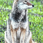 Jim Krumel: What's up with all of these coyote attacks?
