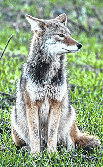 Coyotes can be found in all 88 of Ohio's counties.