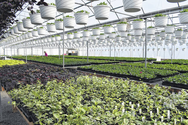 Kayla Dahlinghaus, owner of Kayla's Greenhouse in Lima, prepares her batch of geraniums and other plants for the upcoming season. Kayla's Greenhouse, located at 1745 N. Cole St., will open April 13 for the season.