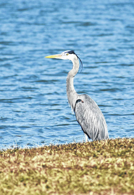 A blue heron keeps a watchful eye along the shoreline of Oxbow Lake, located northwest of Defiance. The heron had been eating bluegills.
