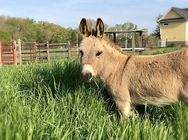 This undated photo provided by Peace N Peas Farm shows Mambo, an 8-year-old miniature donkey, in Indian Trails, N.C. The farm is renting out the animal, along with others, to make surprise appearances in virtual meetings during the coronavirus pandemic.  (Peace N Peas Farm via AP)