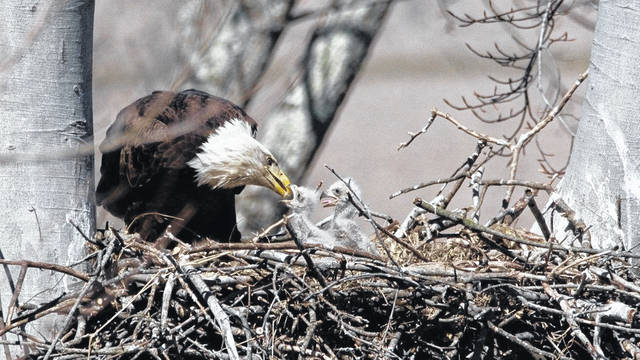 A bald eagle feeds one of its eaglets. Ohio now has 707 bald eagles nests with nests found in 85 of the state's 88 counties. Mercer is among the top counties with 16 nests.