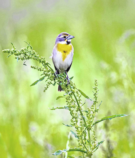 The Dickcissel