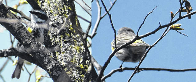 Yellow-rumped warblers seen at Oxbow Lake Wildlife Area near Defiance. Among the first warbler migrators, the yellow-rumped is distinguished by yellow on both sides of its breast and of course the yellow rump. Be careful in wildlife areas because spring wild turkey season is under way. These were sighted along the lake in the area.