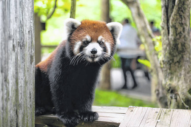 This is a picture Kora, the 2-year-old red panda discovered to be missing from the Columbus Zoo and Aquarium on Wednesday.