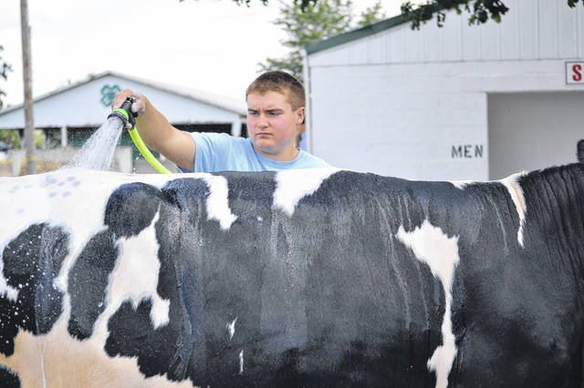 Max Homan, of New Bremen, prepares his cow for the livestock show at the Auglaize County Fair Wednesday.