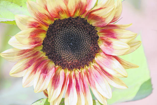 SchoolHouse Farms has expanded the varieties of sunflowers it offers since it began a few years ago.