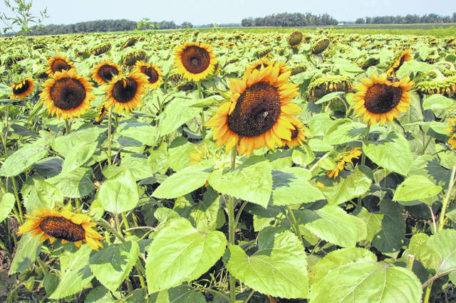 Sunflowers wait for visitors at SchoolHouse Farms near Rockford.
