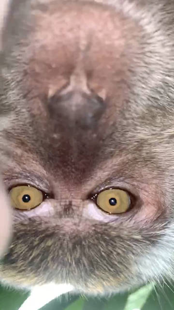 Get This: Just monkeying around: Primate takes phone, then selfies - The  Lima News