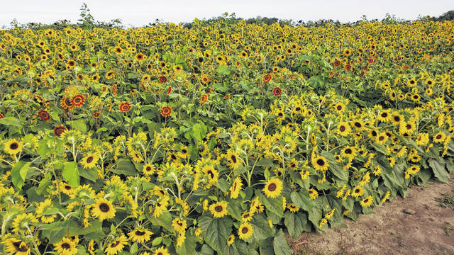 The Suter's Produce farm features a sunflower field near Pandora.