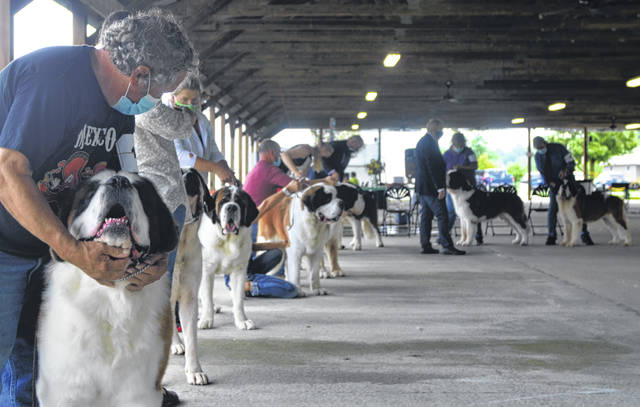 """Dogs are often """"stacked"""" by handlers to show off their attributes during the final judging."""