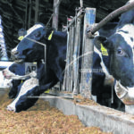 """""""Safety net"""" for Midwest dairy farmers"""