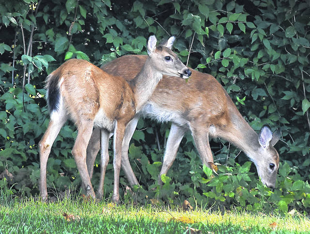 Two young fawns graze along the edge of a wooded area in Lima.