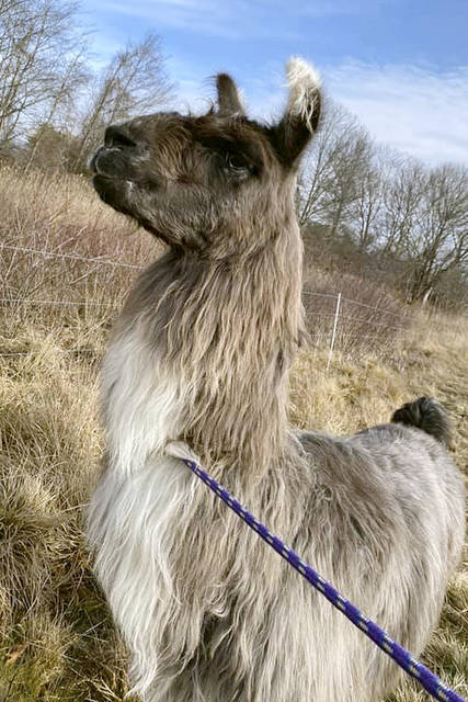 This Monday, Jan. 4, 2021, photo released by Newburyport/West Newbury Animal Control shows a male llama that was found Monday alone in a field near Interstate 95 in Newburyport, Mass. The llama was temporarily kept at a local farm until its owner could be located. (Kayla Provencher/Newburyport/West Newbury Animal Control via AP)