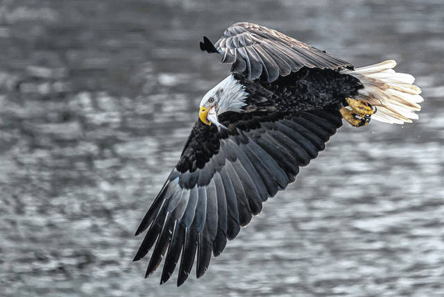 "Bald eagles have made a decades-long resurgence after being on the edge of extinction, and local photographers have snapped photos of the birds taking care of their young, fishing and taking flight. A bald eagle snags a fish for dinner. The birds, once endangered, are now listed as ""common"" by ODNR."
