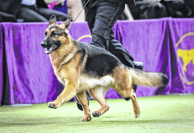 This Feb. 14, 2017, photo shows Rumor, a German shepherd, guided around the ring for the Best in Show competition during the 141st Westminster Kennel Club Dog Show in New York. The German shepherd is among the top ten popular breeds for 2020.