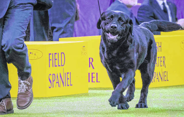 In this Tuesday, Feb. 13, 2018, photo, Memo, a Labrador retriever, competes in the sporting group during the 142nd Westminster Kennel Club Dog Show, at Madison Square Garden in New York. The Labrador is among the top ten popular breeds for 2020.