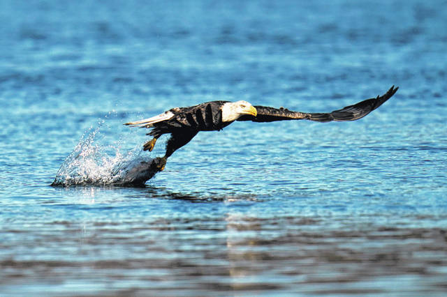 A bald eagle grabs a fish Nov. 20 from the Susquehanna River near the Conowingo Dam, in Havre De Grace, Md. The number of American bald eagles has quadrupled since 2009, with more than 300,000 birds soaring over the lower 48 states, government scientists said Wednesday in a new report.